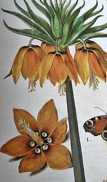 Año 1576 Corona imperialis maior-llegaron a tener más de 50 flores