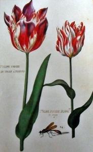 """Tulipán blanco y rojo, representados al final de la floración. """"insecto muy voraz que destruye muchos gusanos"""""""