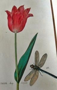 Tulipán baño de plata, especie rarísima. Abajo libélula mayor que se conoce en los alrededores de París.