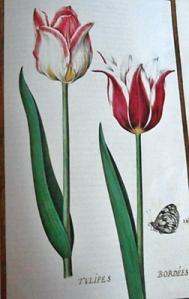 """Tulipanes orlados""""mariposa que se encuentra en los bosques en agosto y septiembre""""."""