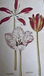 Tulipanes variados